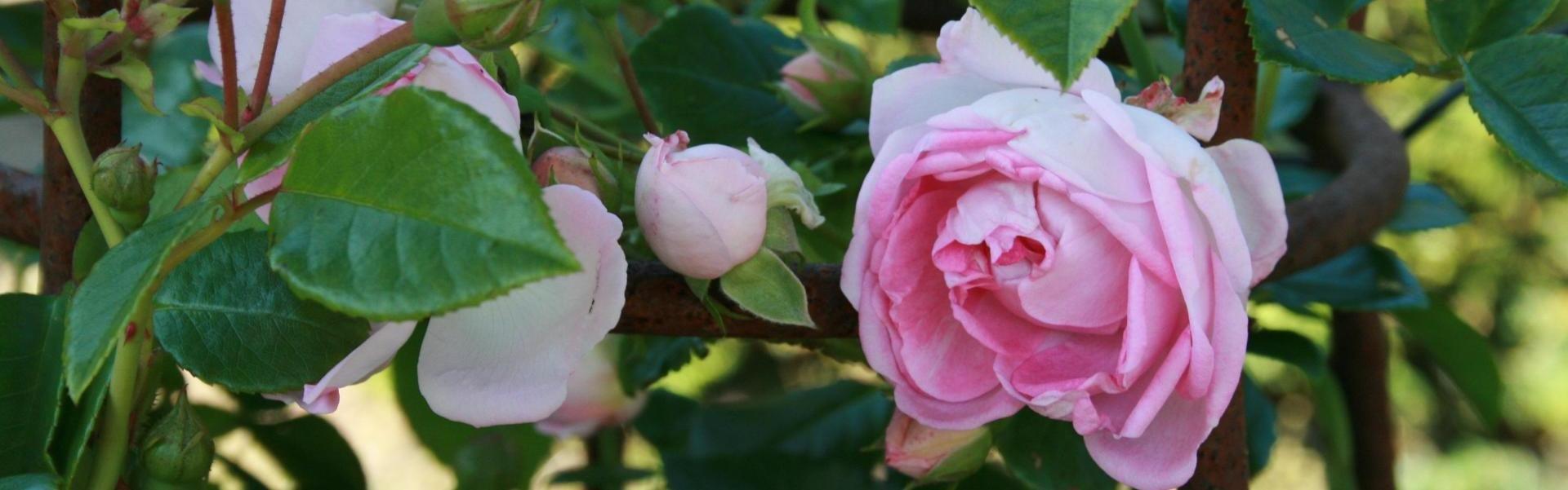 Afskårne Roser roser og slyngplanter - hesselbækgaard havecenter