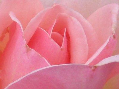 Roser - storblomstrende