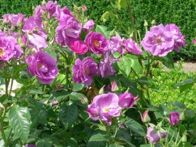 Roser plant og plej
