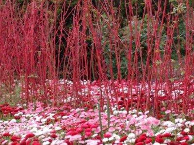En rød pryd i vinterhaven